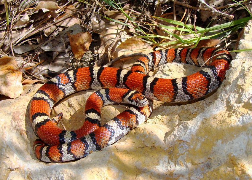 Wąż mleczny na piasku oraz jego charakterystyka i opis, występowanie oraz wymagania co do hodowli
