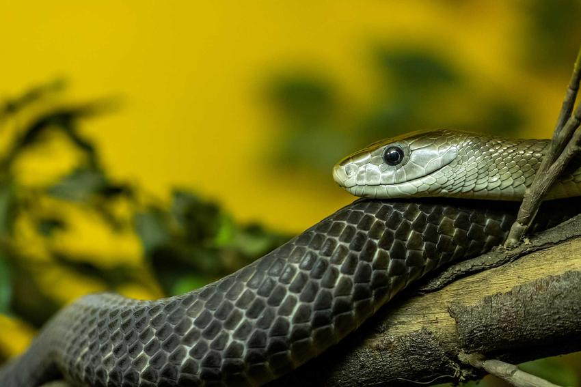 Czarna mamba, groźny wąż i jego hodowla, występowanie, rozpoznawanie i zdjęcia