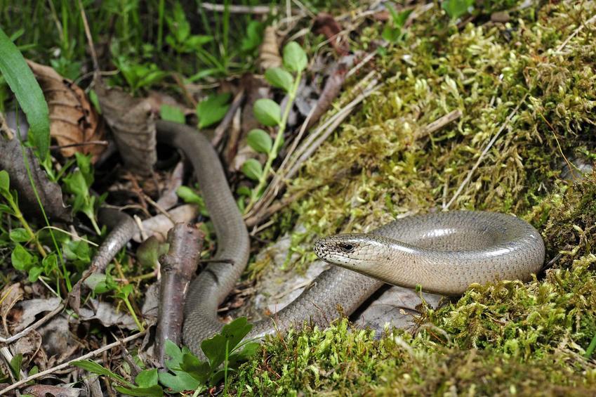 Padalec zwyczajny w lesie, a także charakterystyka gatunku oraz jego występowanie w naszych warunkach