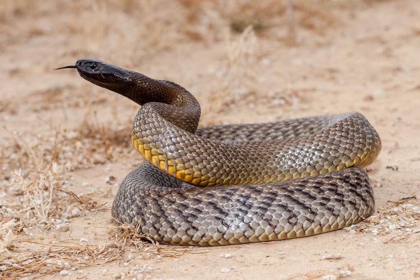 Tajpan pustynny, niebezpieczny wąż oraz jego opis, występowanie, ciekawostki oraz porady