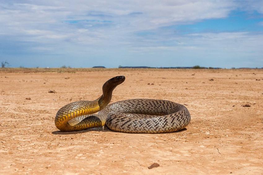 Niebezpieczny tajpan pustynny na pustyni, a także opis gatunku, zdjęcia oraz ciekawostki