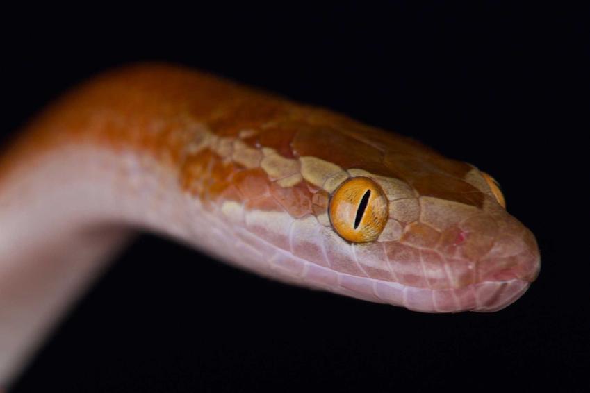 Wąż mahoniowy o czerwonym kolorze skóry, a także opis gatunku, wymagania i rozmnażanie oraz hodowla i porady