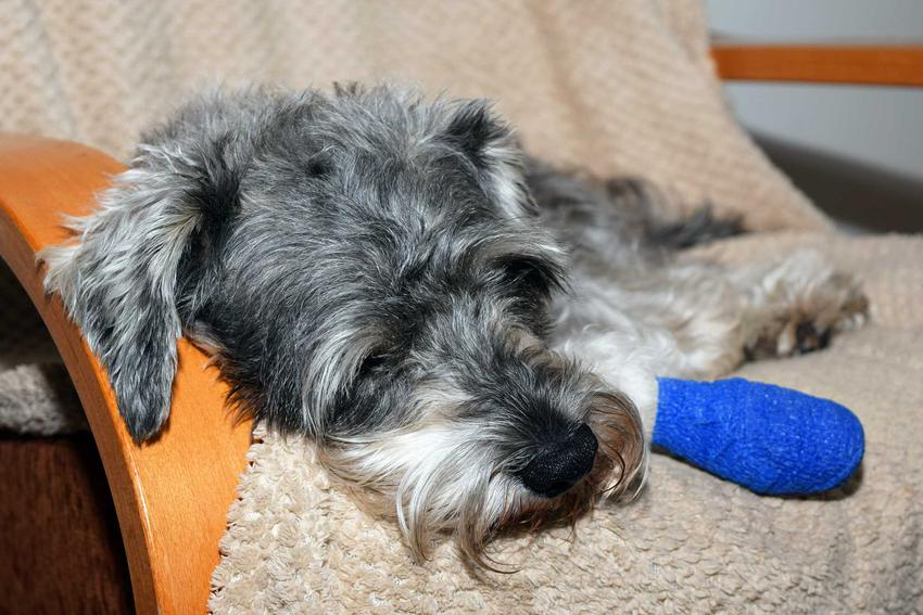 Piesek z zabandażowaną łapką, która go boli, a także najlepsze leki przeciwbólowe dla psa krok po kroku