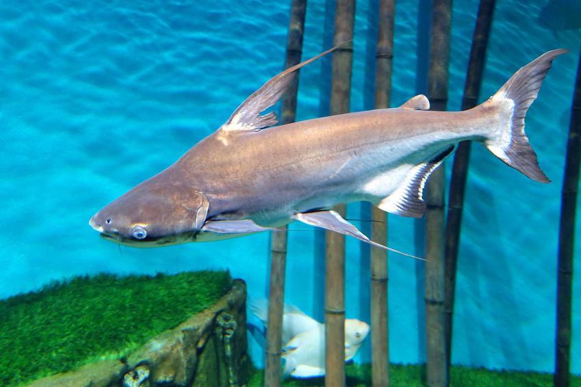 Rekin akwariowy, czyli ryby słodkowodne wyglądające jak rekin do akwarium, a także informacje, jak wygląda rekin akwariowy