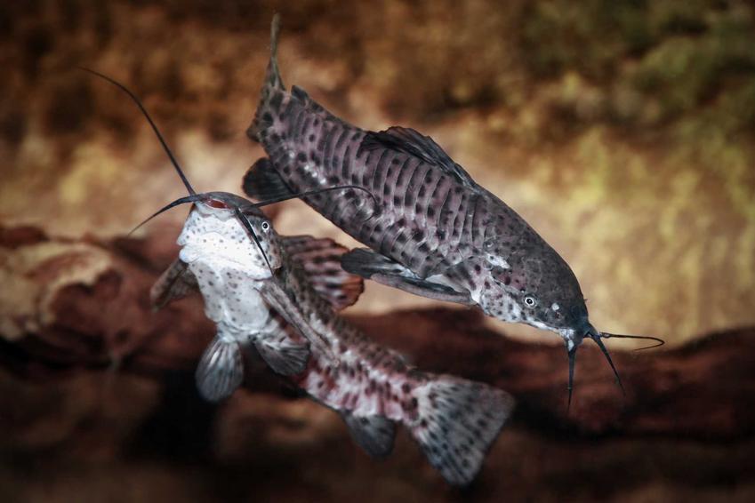 Kiryśnik czarnoplamy na dnie akwarium, a także zdjęcia ryby, gatunek oraz informacje o hodowli