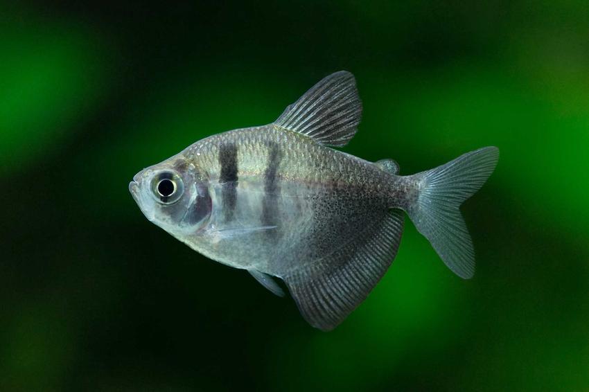 Rybki akwariowe do hodowli dla początkujących, na przykład rybka żałobnica oraz inne gatunki ryby