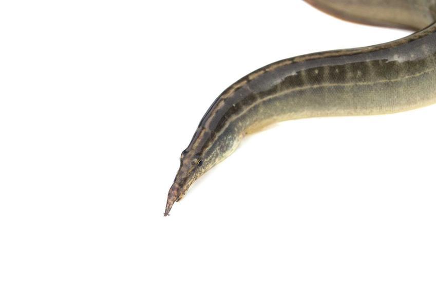 Ryba węgorek, czyli długonos ciernisty i informacje o tym gatunku, pielęgnacja oraz żywienie i wymagania