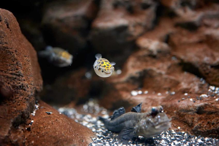 Rybki kolcobrzuch zielony pływające w akwarium, a także ich charakter, opis oraz hodowla w akwarium