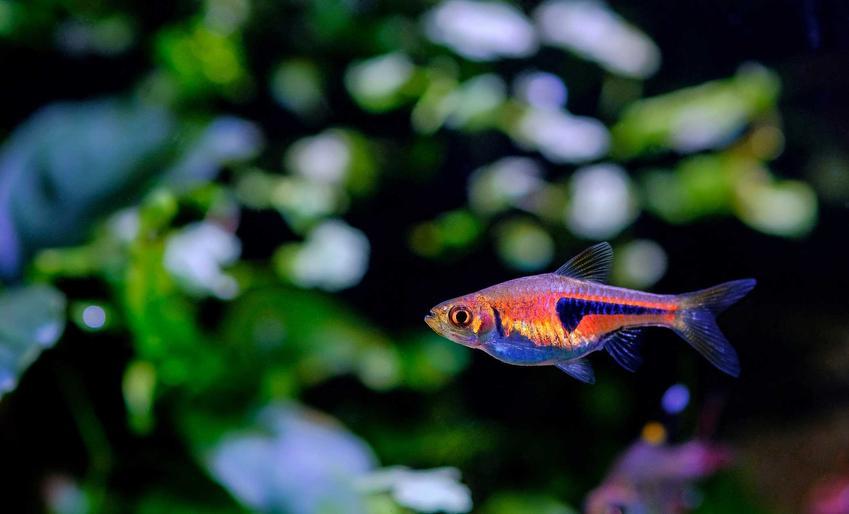 Razbora epsei o ciekawym kolorze pływająca w akwarium, a także hodowla gatunku oraz rozmnażanie ryby