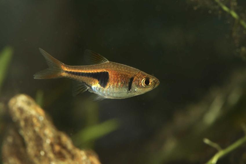 Razbora epsei w akwarium, a także pochodzenie gatunku oraz hodowla i karmienie w akwarium