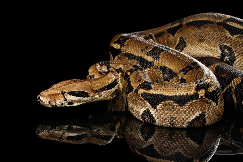 Wąż boa dusiciel na czarnym tle, a także jego hodowla, karmienie, porady, ciekawostki i terratium