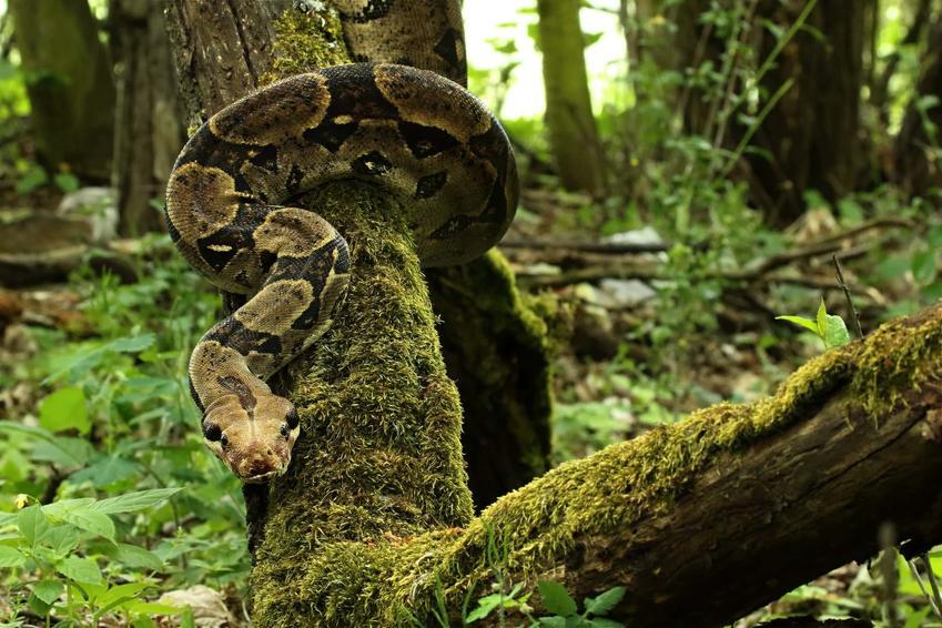 Wąż boa dusiciel na łonie natury, a także hodowla węża, usposobienie, karmienie i porady