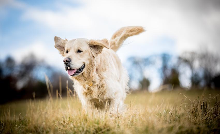 Kremowy lub biały golden retriever biegający po polu, a także informacje na temat rasy