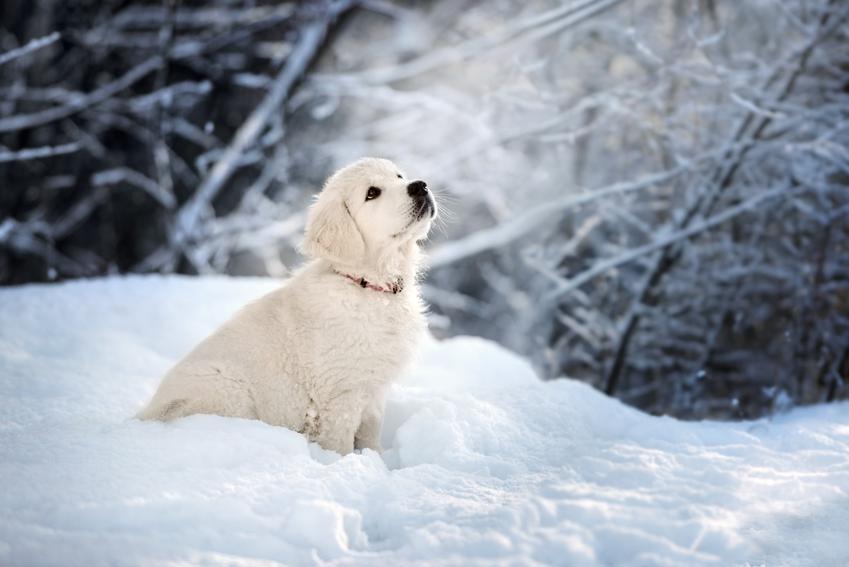 Mały biały golden retriever siedzący w śniegu oraz jego usposobienie i charakter