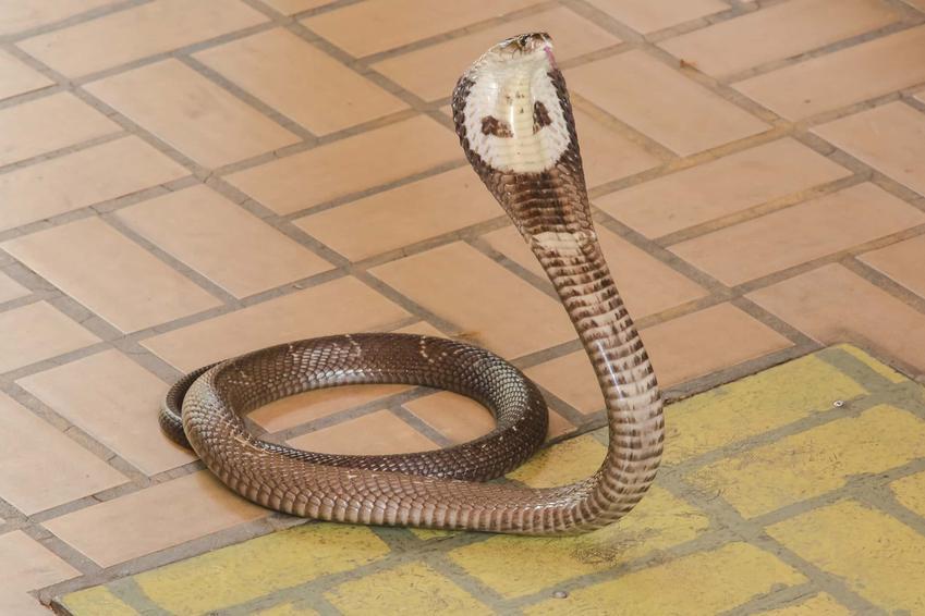 Kobra indyjska na tle kostki brukowej oraz opis i charakterystyka kobry naja naja, jej hodowla i porady