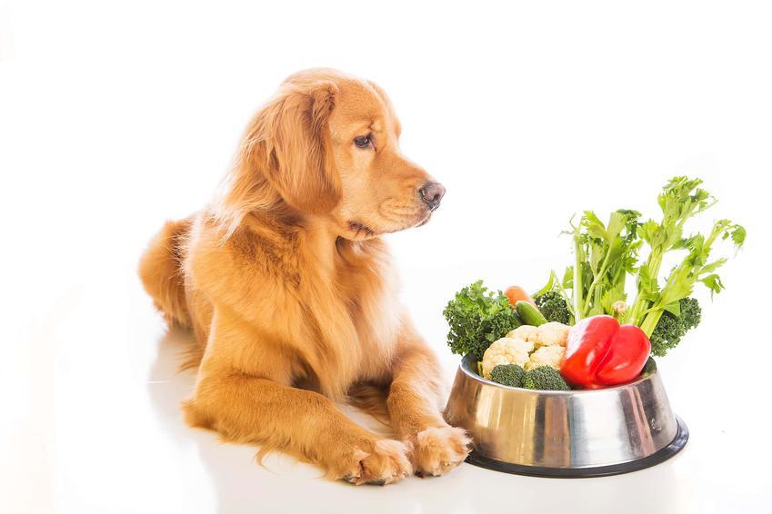 Rudy pies Golden Retiever leży przy misce pełnej warzyw, po co psu witaminy i które witaminy muszą być podawane z pokarmem