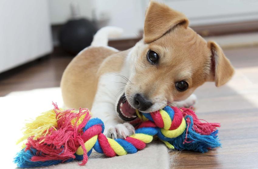Szczeniak leży na podłodze gryząc kolorową zabawkę ze sznura, czy psa boli wypadanie zębów i inne porady