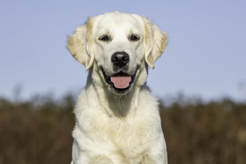 Czarny golden retriever czy biały, czyli informacje na temat umaszczenia psów tej rasy