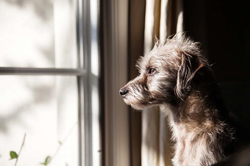 Zamyślony pies siedzi patrząc przez okno, jak przeżyć żałobę po psie lub kocie, czy są grupy wsparcia dla ludzi których zwierzęta umarły