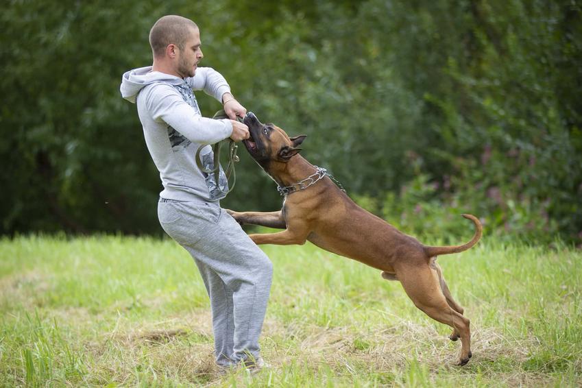 Mężczyzna bawi się z amstafem, amstaf gryzie patyk, który trzyma mężczyzna w dresie, wskazówki jak wychować psa, czy zwierze z natury jest dobre, czy amstafy są bardzo groźne i jak je wyszkolić