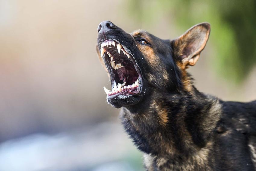 Groźny pies szczerzy zęby, wściekły pies pokazyje kły, czy warto oddać psa na tresuje czy tresować go samemu