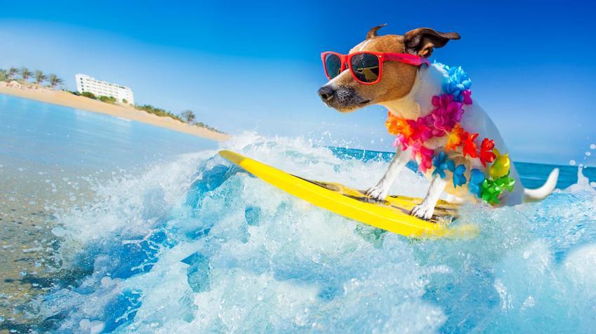 Pies w okularach siedzi na desce surfingowej i unosi się na fali, ustronne miejsca na wakacje z psem i porady krok po kroku