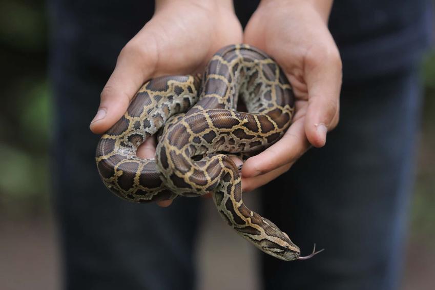 Pyton tygrysi w rękach człowieka, do jakich rozmiarow rośnie pyton tygrysi i jakie węże można spotkać w Polsce