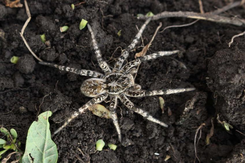 Tarantula ukraińska w swoim naturalnym środowisku, jak duża jest tarantula ukraińska i czym żywi się tarantula ukraińska
