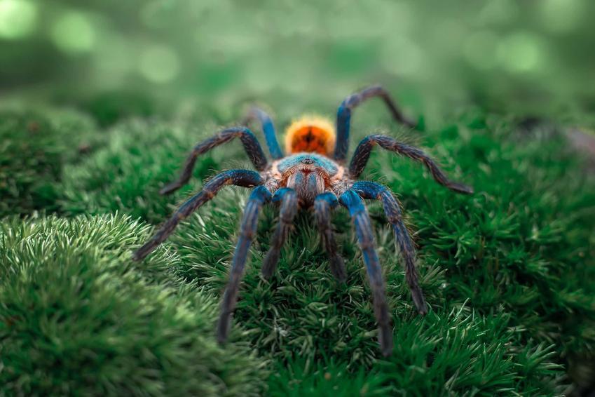 Chromatopelma cyaneopubescens w swoim środowisku naturalnym, czy niebieskiego pająka można trzymać w terrariums