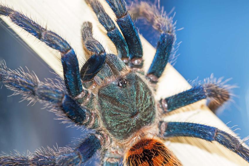 Chromatopelma cyaneopubescens jako jeden z najpiękniejszych pająków na świecie, wyjątko umaszczenie pająka, czy Chromatopelma cyaneopubescens poluje na owady