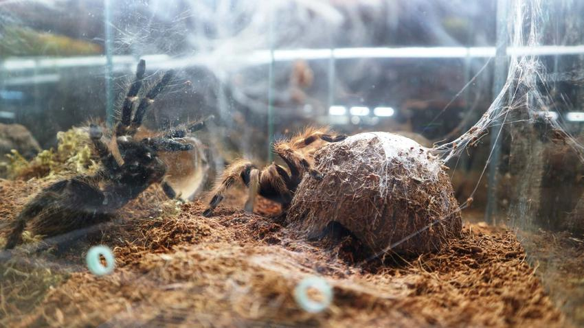 Tarantula zamknięta w terrarium, czym karmić tarantulę, jak często musi jeść ptasznik