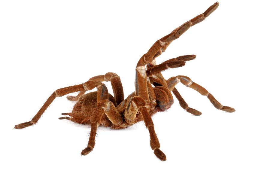 Goliath Birdeater Tarantula, czyli ptasznik goliat jako największy pająk na świecie