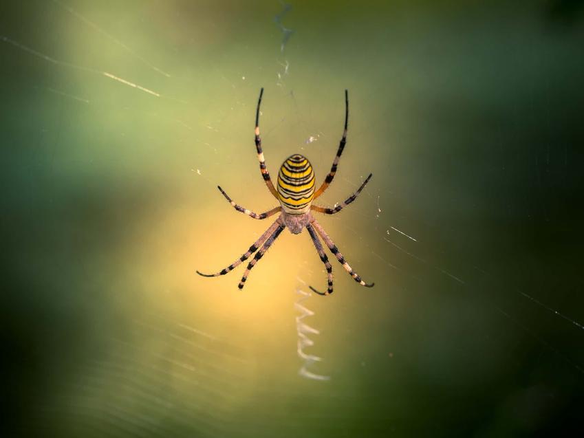Tygrzyk paskowany wisi na pajęczynie, pająk tygrysi jako jeden z największych pająków w Polsce, czym odżywia się pająk tygrysi
