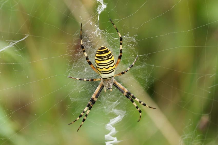 Pająk tygrysi wisi na sieci, pająk tygrysi w żółte paski, charakterystyka pająka tygrysiego