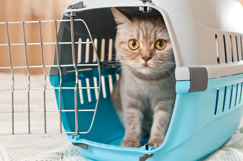 Kot siedzący w transporterku z plastiku oraz polecany transporter dla kota