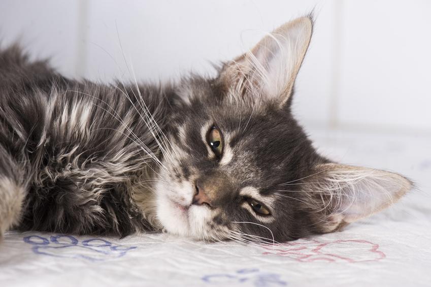 Chory kot leżący na podłodze, a także zatwardzenie u kota i zaparcia