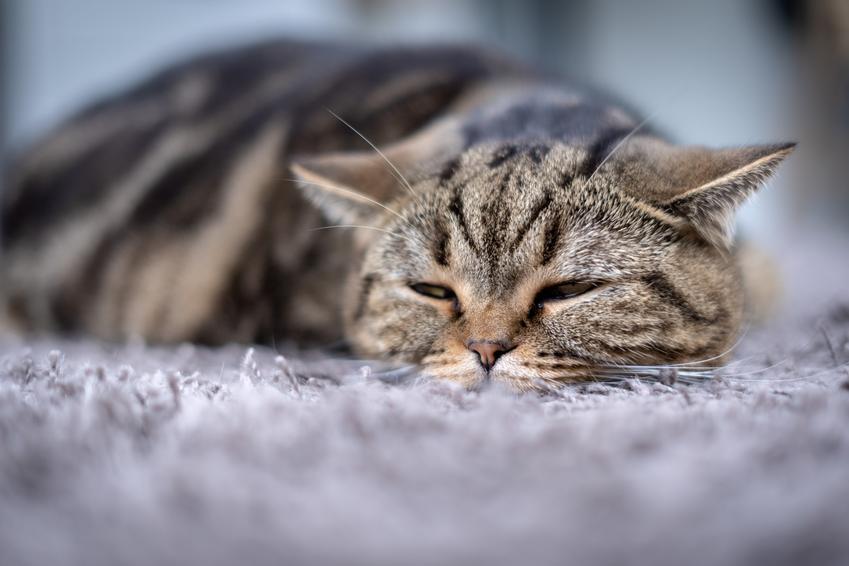 Kot śpiący na podłodze oraz objawy zaparcia u kota i jego leczenie