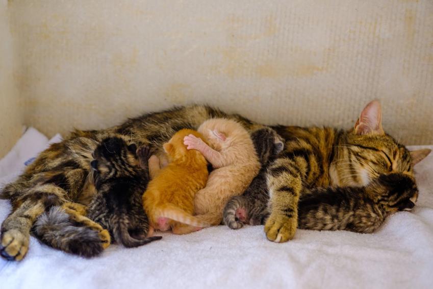 Kotka z małymi kotkami po porodzie oraz jak przebiega poród kota