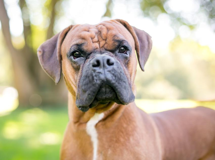 Bokser i inne psy z włosem, a także polecane rasy psów z włosem przyjazne alergikom