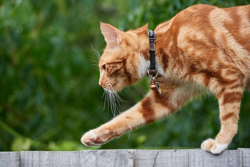 Rudy kot z obrożą podczas spaceru, a także obroża dla kota czy szelki dla kota
