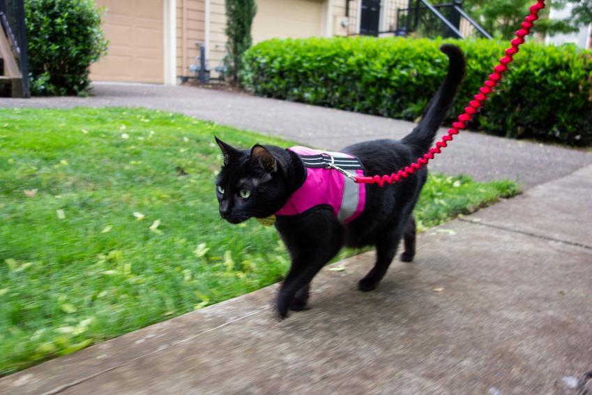 Rudy kot w szelkach podczas spaceru, a także obroża dla kota czy szelki dla kota