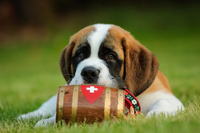 Bernardyn leżący na trawie z beczułką, a także charakter bernardyna i usposobienie