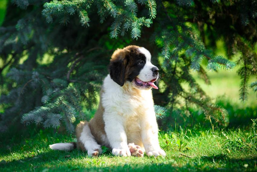 Mały pies bernardyn na tle trawy i drzew oraz czarny bernardyn i co warto wiedzieć