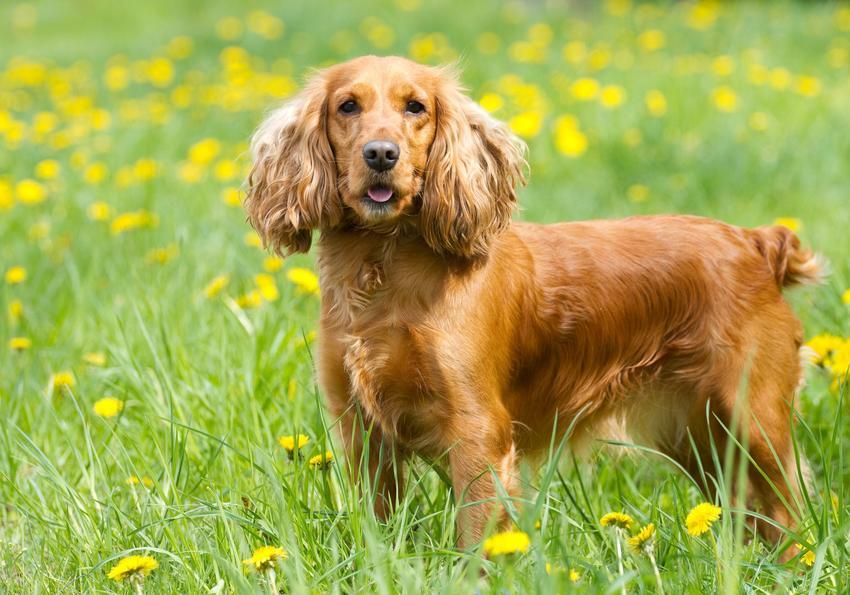 Pies rasy cocker spaniel na tle trawy i kwiatów oraz hodowla cocker spanieli