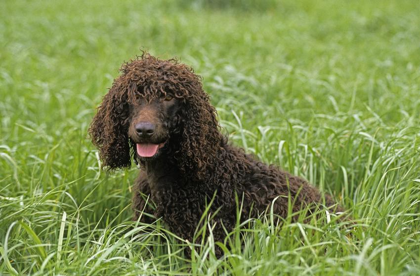 Irlandzki spaniel wodny lub dowodny siedzący w trawie i cena za rasowe psy z rodowodem