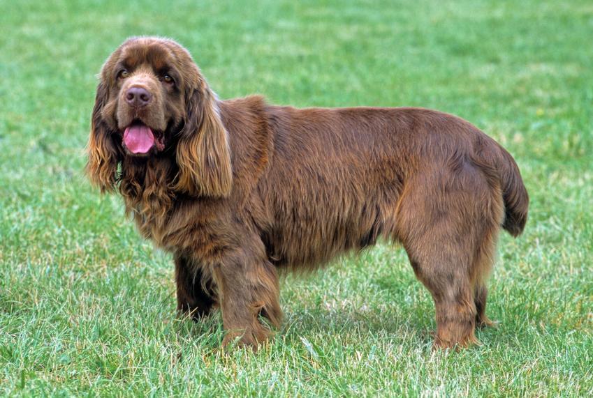Sussex spaniel stojący na trawniku podczas spaceru, a także jego hodowla i cena