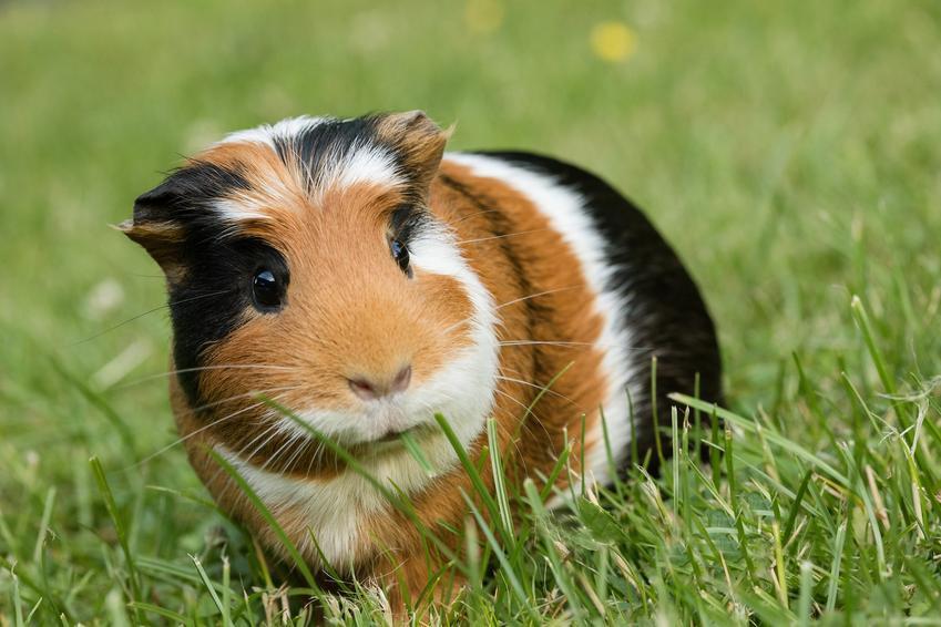 Świnka morska sheltie kolorowa na tle trawnika, a także jej cena i wychowanie