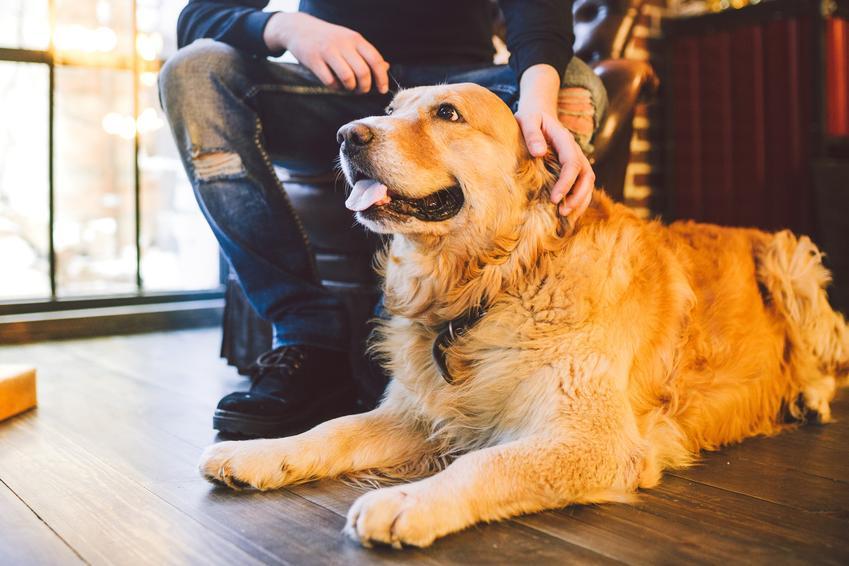 Biszkoptowy długowłosy labrador retriever siedzący na podłodze oraz jego pielęgnacja