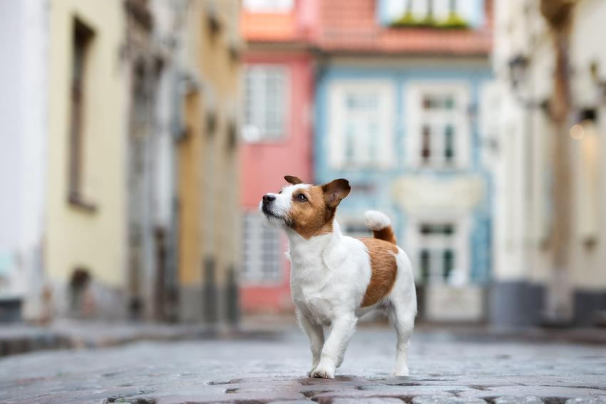 Pies rasy jack russell terrier podczas spaceru w mieście, a także cena jack russell terriera