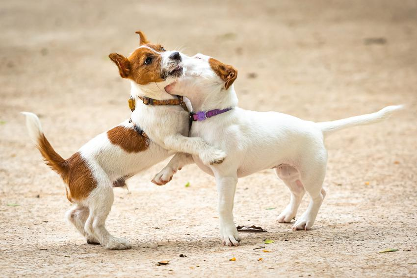 Dwa bawiące się psy rasy jack russell terrier oraz najlepsza hodowla jack russell terriera